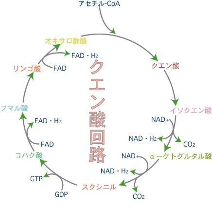 クエン酸回路画像検索結果