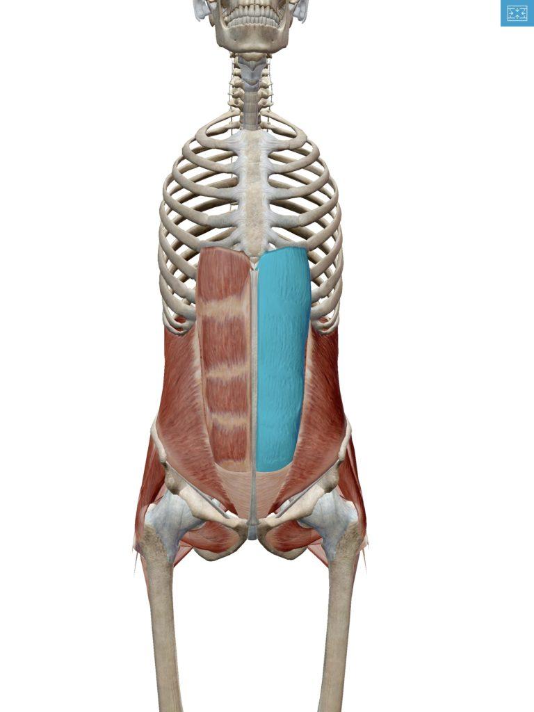 腹直筋の解剖図の画像