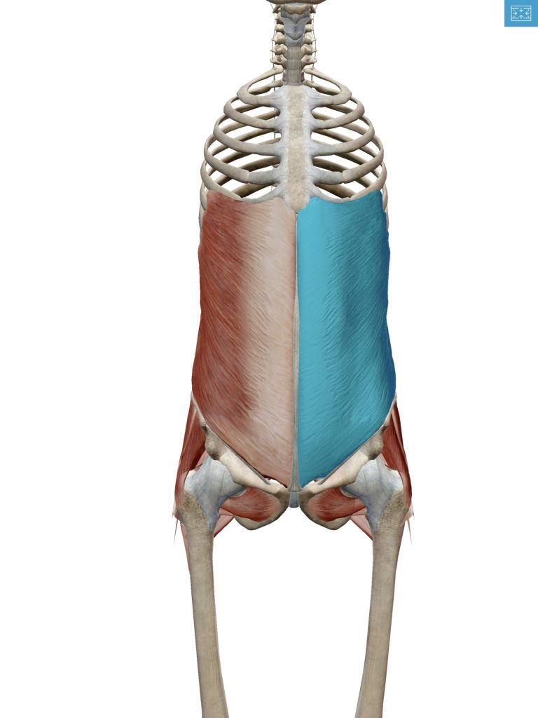 外腹斜筋の解剖図の画像
