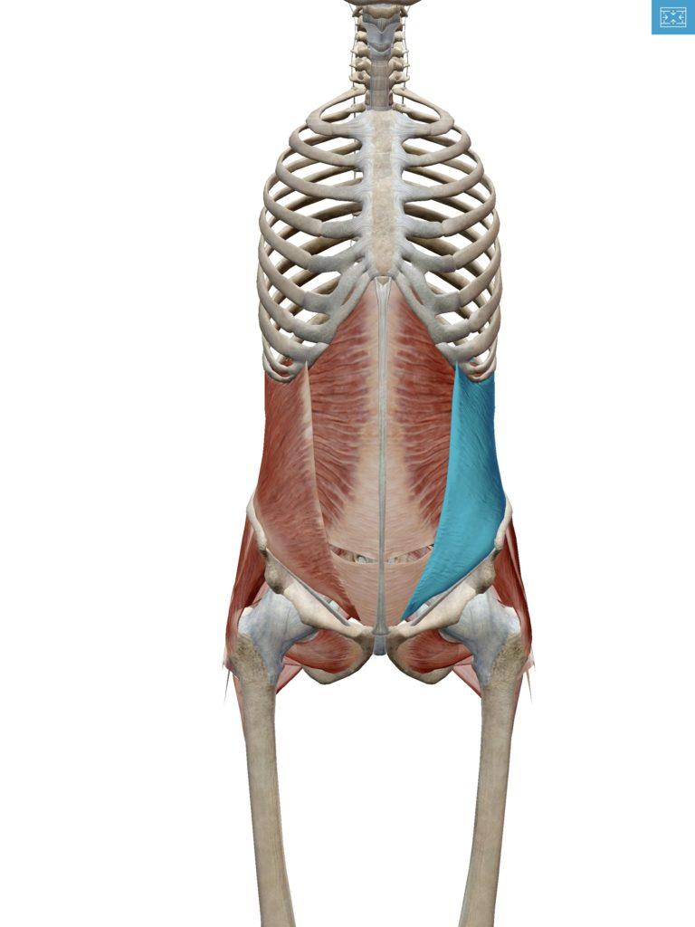 内腹斜筋の解剖図の画像