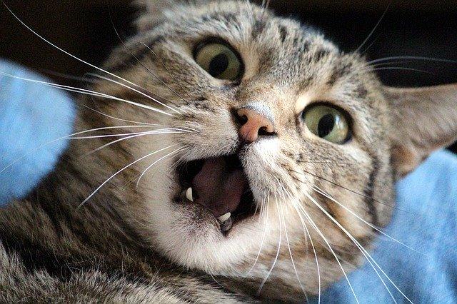 口を開けて驚いている猫の画像