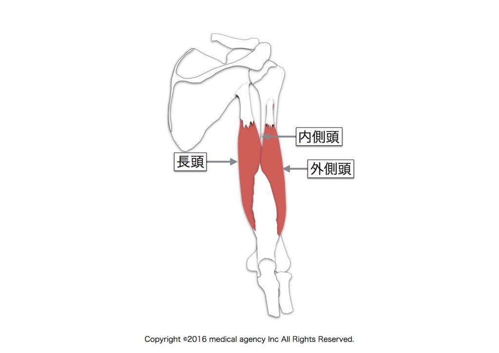 上腕三頭筋の解剖図の画像