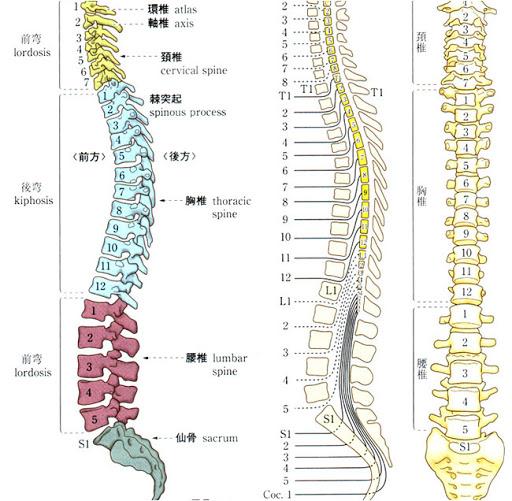 背骨の解剖図の画像